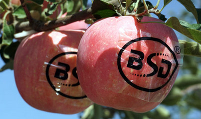 如何进行苹果苗木脱毒