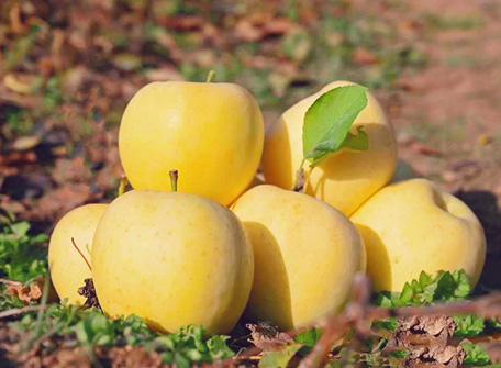 金矮生苹果