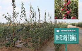 矮化苗木扦插繁殖
