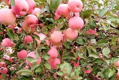 苹果苗木在秋冬旱季的生长受到什么样的影响?