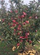 矮化苹果苗木红蜘蛛的防治