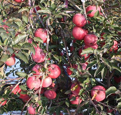 矮化苗木苹果增甜增色的方法
