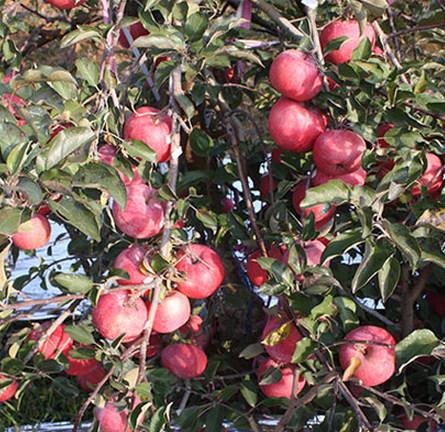 """烟台苹果苗木在冬季修剪时的注意事项,为""""大年""""做准备"""