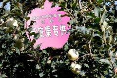 烟台苹果苗木种植管理所存在的误区