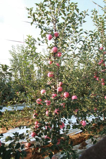 苹果苗木育苗期的病害防治及管理