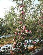 矮化苗木生长几个关键的需水时期