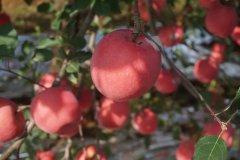 <b>16°有机苹果:甜到你心里</b>