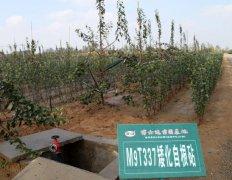 脱毒苹果苗木究竟是自根砧好还是中间砧好?