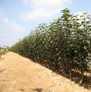 如何进行苹果苗木脱毒,什么是双脱毒苗木