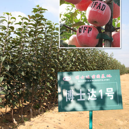 为什么一定要栽植脱毒苹果苗