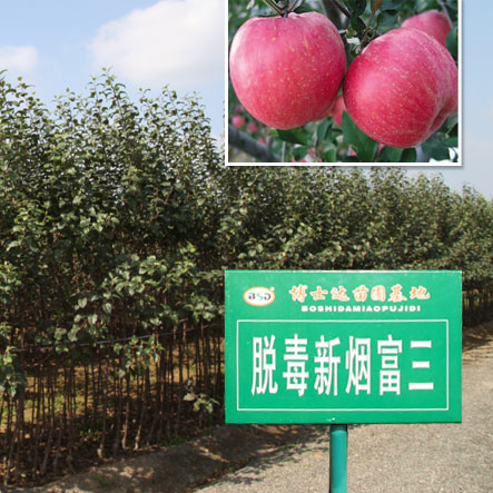 苹果树苗修剪小知识