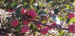 小国光苹果,与你一起品尝小时候的味道