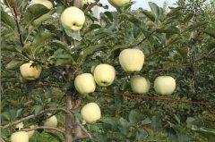 矮化苹果苗的套袋原则