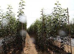 脱毒苗木栽培的优越性