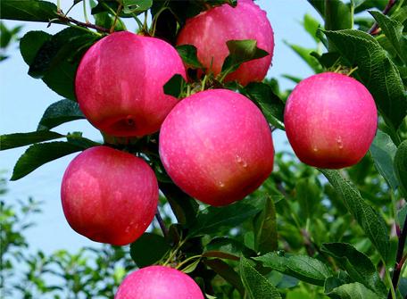 苹果苗木为什么要进行春季复剪