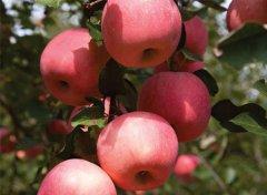 苹果苗木栽培管理技术要点
